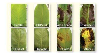 Efectividad de los extractos de ajo y clavo en el control del hongo causante de la Sigatoka negra
