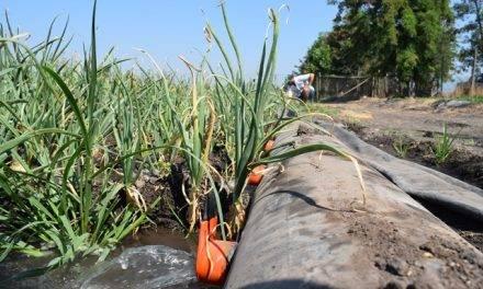 Instalación y funcionamiento del sistema de riego por pulsos, en cultivo de cebollas