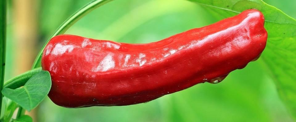 Mayor rentabilidad y calidad en cultivo de pimientocon mallas que encalado