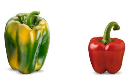 Perotti un pimiento dulce italiano con resistencias, fácil cuajado, alta producción y excelente fruto