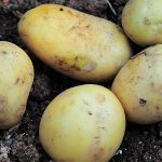 Manejo integral de la sanidad de la semilla de la patata que ayudará a aumentar la producción