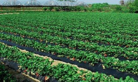 ¿Qué se sabe de nuevo acerca del cultivo de arándanos y fresas? ( I )