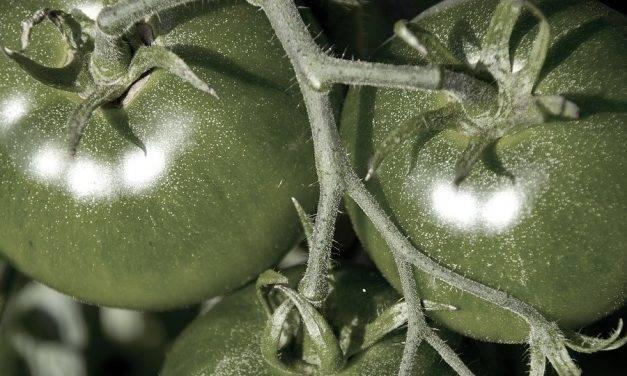 Enzima clave para el rendimiento de los cultivos