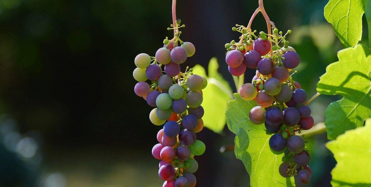 Uvas menos coloreadas debido a una maduración acelerada