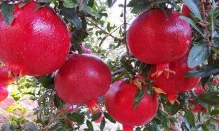 Caliplant Genetic y Genesis Innovation Group consolidan cuatro nuevas variedades de granada