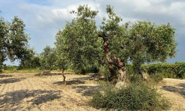 Calidad y enfermedades del olivo