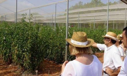 Los cultivos de tomate mejoran con una aspirina