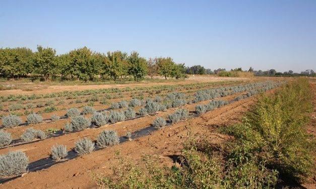 Plantas aromáticas y medicinales, una alternativa como cultivo en Extremadura