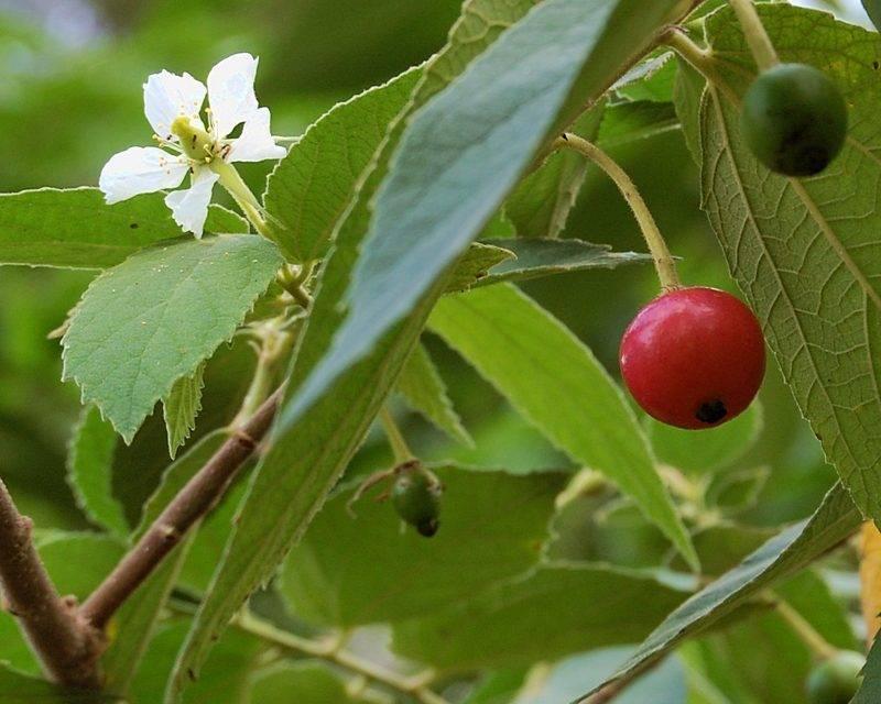 Comportamiento poscosecha de Muntingia calabura, fuente potencial de compuestos bioactivos