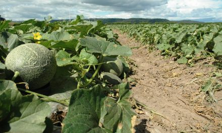 Complementariedad entre extractos naturales e insecticida contra mosca blanca en melón