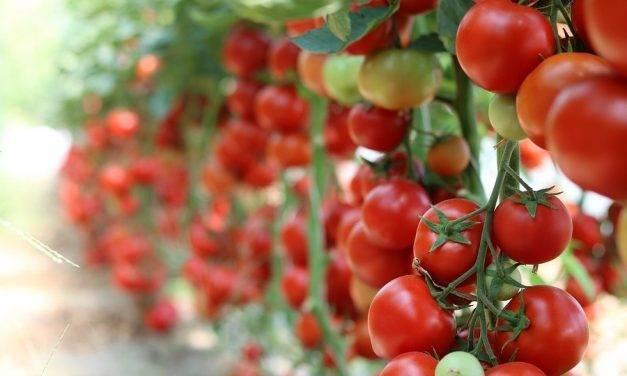 Fertilización con compost de vacuno en producción de tomate de colgar