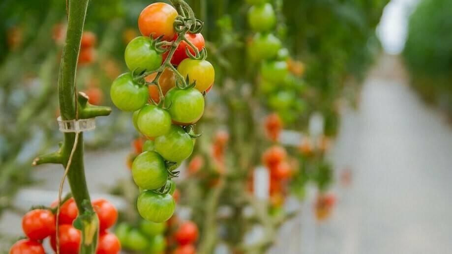 La oxifertirrigación del tomate hidropónico, una herramienta potencial para las etapas críticas del cultivo