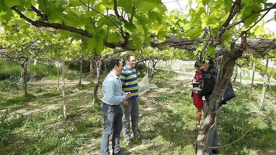 Mejora del rendimiento y la calidad en uva Red Globe aplicando ácido cítrico