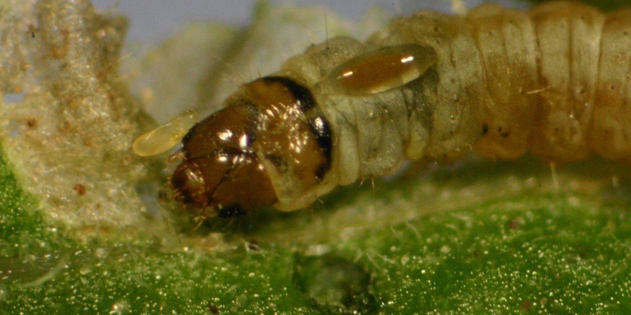 Horta.Net estudia los parasitoides espontáneos para el control de Tuta absoluta