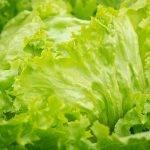 Los bioestimulantes mejoran la calidad nutricional de la lechuga Iceberg