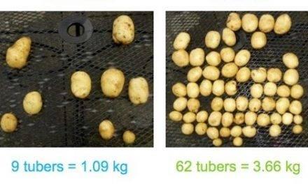 Emesto, una familia de fungicidas que protege la semilla de patata