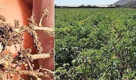 Un sitio web dedicado al nematodo dorado o nematodo de los quistes de la patata