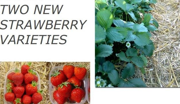 Cristina and Romina, strawberry cultivars for reduced water application