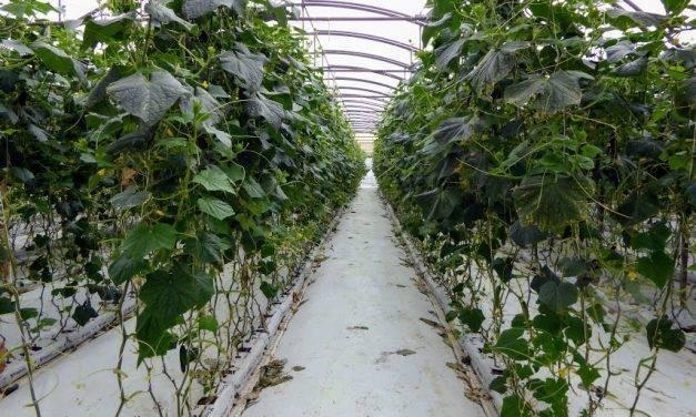 Respuesta de pepino y tomate a dos estrategias de fertirrigación para reducir nitratos