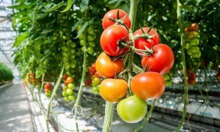 Producción de tomate bajo plástico