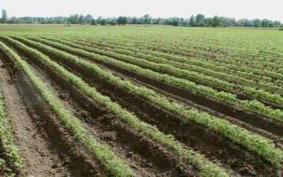 Las sustancias húmicas (HA, FA) mejoran el cultivo de zanahoria