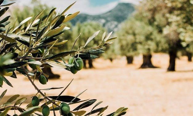 ¿Porqué son añeros los olivos?