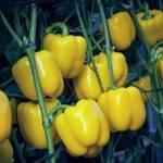 Mikonos, un excelente pimiento corto amarillo