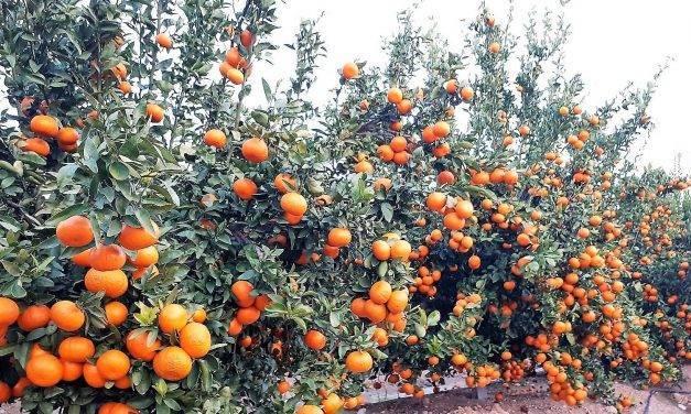 Continúa la venta de licencias de la variedad de mandarina Spring Sunshine