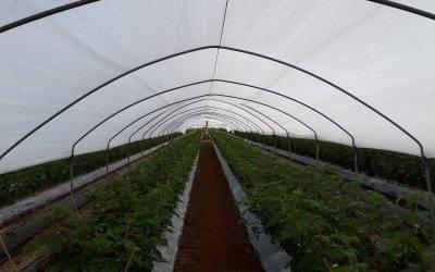 Las soluciones más innovadoras para el cultivo de arándanos, fresas, frambuesas y otras bayas
