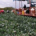 Perspectivas del brócoli, una visión desde Extremadura, según Sakata Seed Ibérica