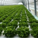 Línea de producción automática con sistema flotante de lechuga y baby leaf