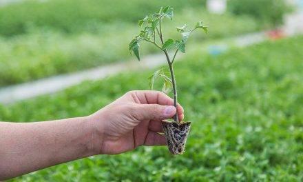 Resultados positivos pulverizando calcio en plantel de tomate