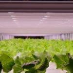 LED GreenPower de Philips ayuda a mejorar cultivos en Japón II
