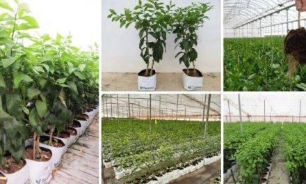 Cítricos y granados como cultivos alternativos