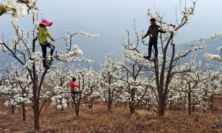 Los fruticultores chinos hacen el trabajo de las abejas