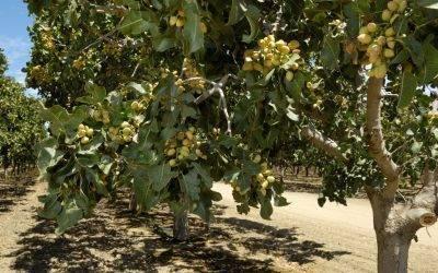 Soluciones innovadoras para el cultivo de pistacho