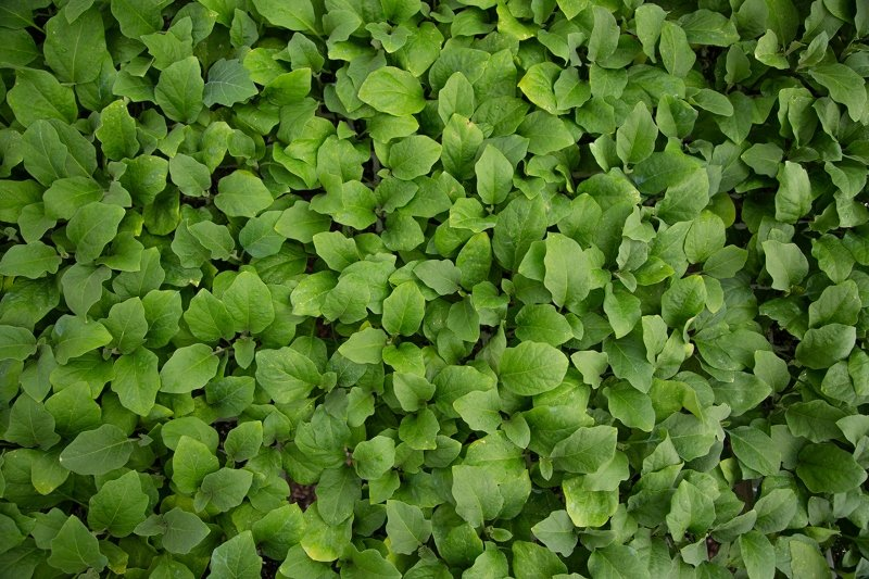 plantas microinjertadas de berenjena