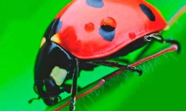 Avispas parasitoides que aseguran la supervivencia de su especie