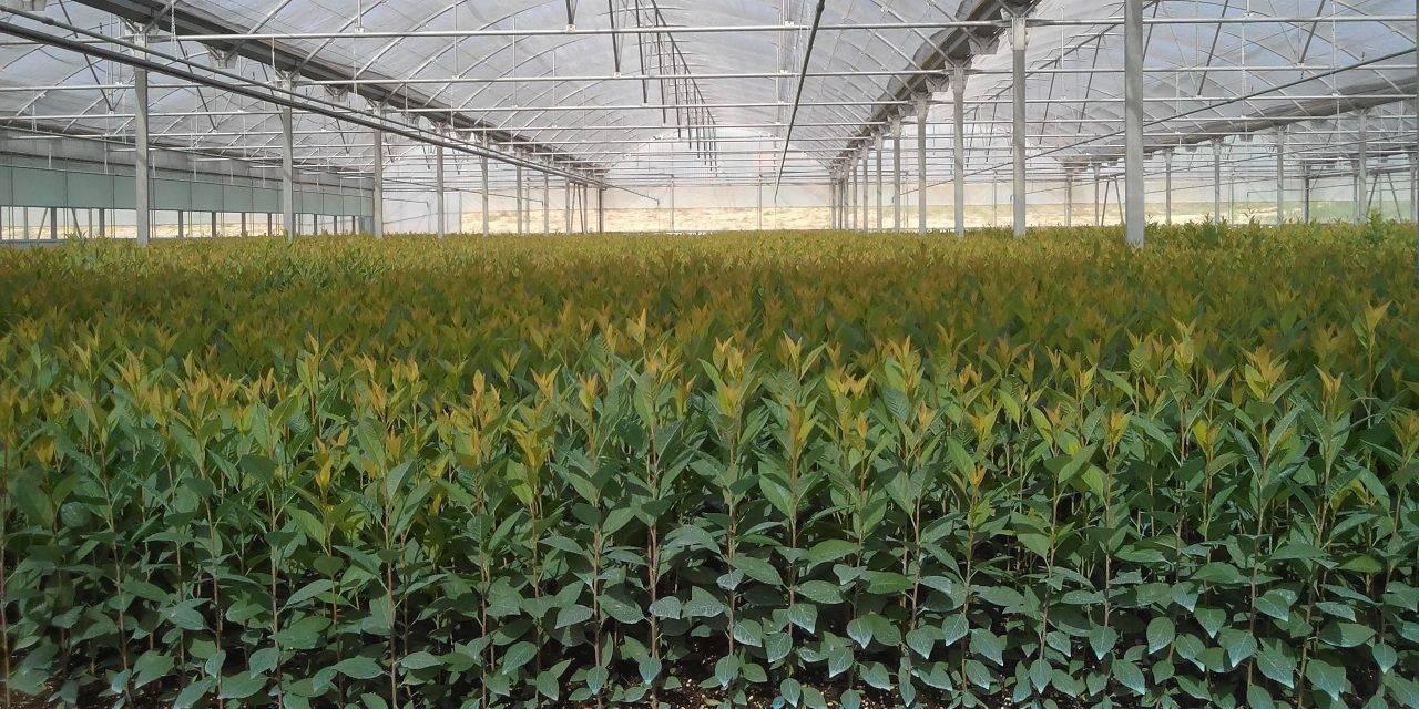 Producción de árboles frutales en viveros: sustratos, bandejas y macetas
