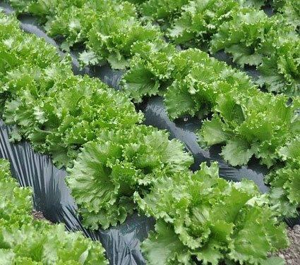 El acolchado biodegradable mejora en España