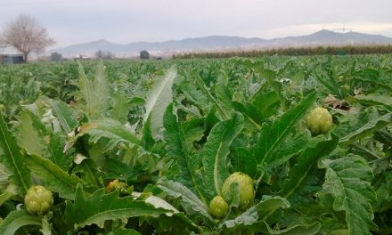 Comparative Study of an Artichoke Crop Under Drip Irrigation