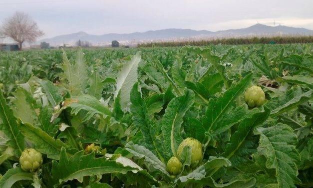 Estudio comparativo de un cultivo de alcachofa bajo riego por goteo