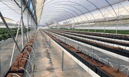 Canalones para el cultivo de fresas en sustrato y macetas grandes para arándano