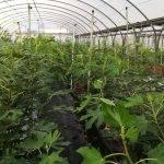 Projar presentará un novedoso sistema hidropónico para el cultivo de higo