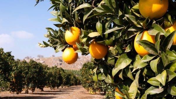 Presentan fitorregulador que reduce la caída de naranjas en precosecha