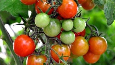 Simposio sobre prevención y control de enfermedades del tomate