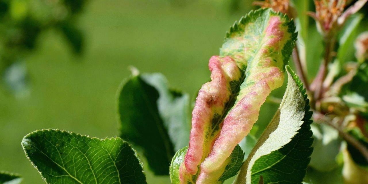 Defoliación antipulgón de manzano y peral después de la cosecha