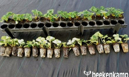 Beekenkamp Presents the 34-hole Strawberry Plug Tray