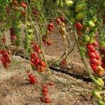 Tres variedades de tomates tipo Cherry intensas de sabor de semillas Fitó: Solemio, Mulan y Ferdinand