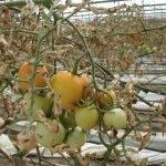 La resistencia a insecticidas dificulta el control de Tuta absoluta